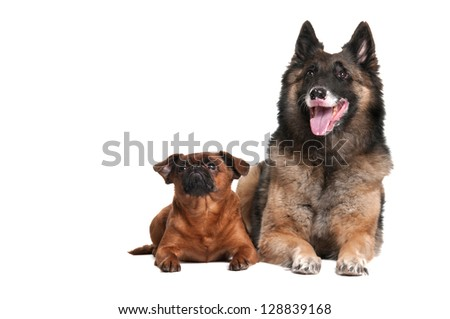 Shepherd and Brabant on a white background
