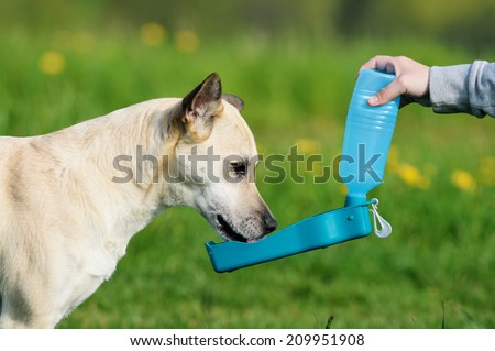 shepherd dog drinking water during summer heat  - stock photo