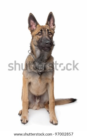 Shepherd dog in front of a white background