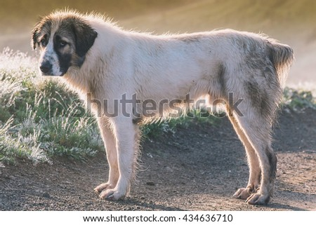 Shepherd dog in morning light