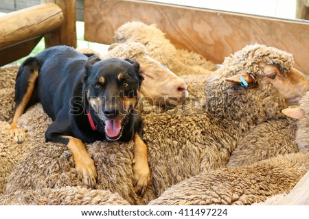Shepherd dog on sheep, Australia - stock photo