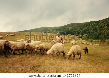Shepherd herding his flock of sheep - stock photo