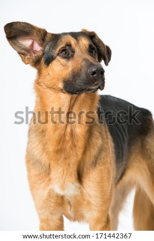 Shepherd mix dog