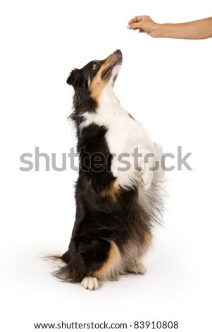 Shepherd mix dog on hind legs begging for a treat that is in his owner's hand. Isolated on white.