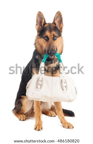 Shepherd with a bag in his mouth on a white background