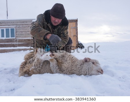 Shepherd with sheep skin removes from our own farm