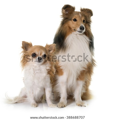 shetland dog and chihuahua in front of white backrgound