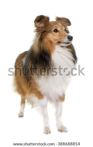 shetland dog in front of white backrgound - stock photo