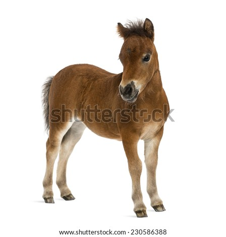shetland foal - 1 month old - stock photo