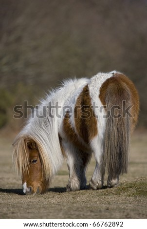 Shetland Pony grazing on grass - stock photo