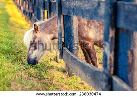 Shetland pony is reaching outside the fence for greener grass. Cross-processed - stock photo