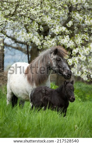 Shetland pony mare with foal in the pasture  - stock photo