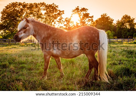 Shetland Pony on a farm in Central Kentucky against sunset - stock photo