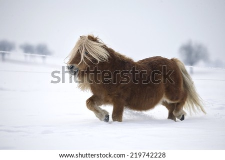 Shetland pony running in the snow. - stock photo