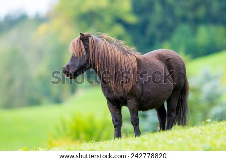 Shetland pony standing on green hill and looking forward. - stock photo