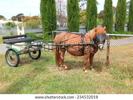 Shetland pony with buggy - stock photo