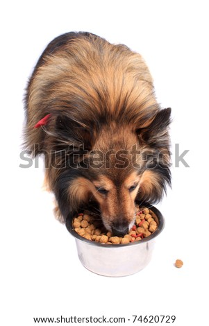 Shetland Sheepdod better known as a Sheltie eating dog food bits from a silver bowl on a white background - stock photo