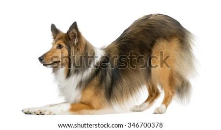 Shetland Sheepdog bowing in front of a white background - stock photo