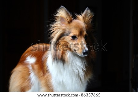 Shetland Sheepdog in a studio setting
