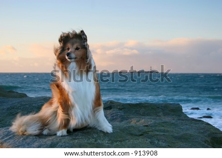 Shetland Sheepdog in the wind by the ocean