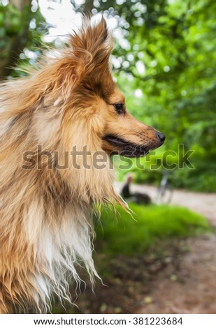 shetland sheepdog looking to the right