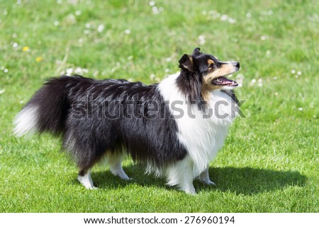 Shetland sheepdog on the green field.