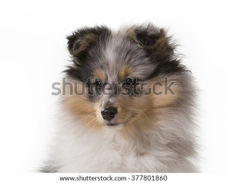 Shetland sheepdog portrait. Image taken in a studio. - stock photo