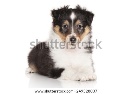 Shetland Sheepdog posing for the camera on white background
