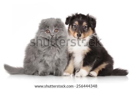 Shetland sheepdog puppy and Scottish Highland fold kitten on a white background - stock photo