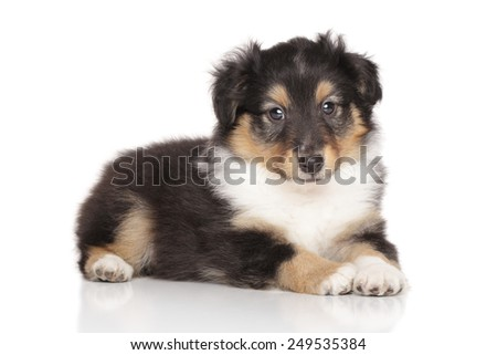 Shetland Sheepdog puppy lying down in front of white background