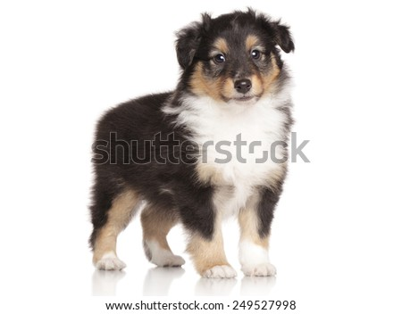 Shetland Sheepdog puppy posing on white background