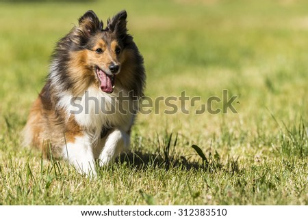 Shetland sheepdog running on a meadow - stock photo