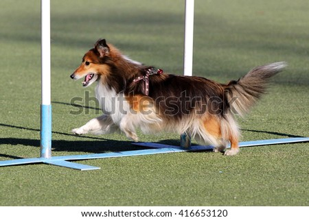 Shetland sheepdog, Sheltie at training on Dog agility - stock photo