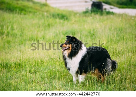 Shetland Sheepdog, Sheltie, Collie Outdoor In Summer Grass At Evening. This Breed Of Herding Dog. They Are Vocal, Excitable, Energetic Dogs Who Are Always Willing To Please And Work Hard - stock photo