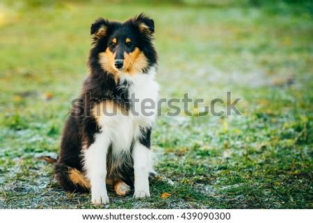 Shetland Sheepdog, Sheltie, Collie Puppy Sit In Grass Outdoor - stock photo