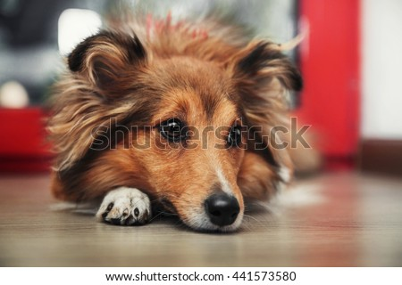 Shetland Sheepdog. Sheltie dog - stock photo
