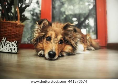 "Shetland Sheepdog. Sheltie dog with words: ""Dreams come true"" - stock photo"