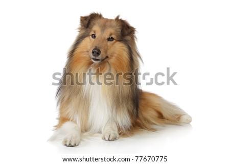 Shetland sheepdog. Sheltie lying on a white background - stock photo