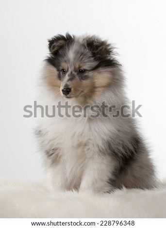 Shetland Sheepdog sitting in a studio. - stock photo