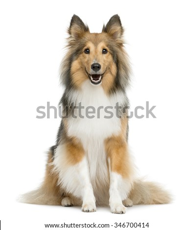 Shetland Sheepdog sitting in front of a white background - stock photo