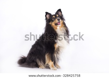 Shetland Sheepdog, sitting isolated on white background - stock photo