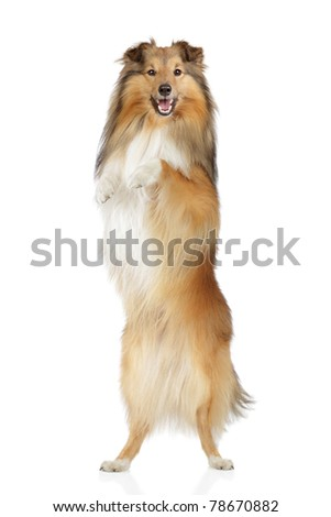 Shetland sheepdog stand on hind legs on a white background - stock photo