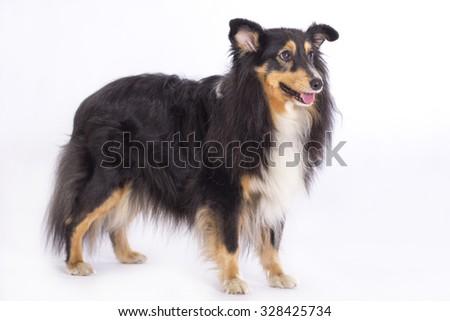 Shetland Sheepdog, standing isolated on white studio background - stock photo