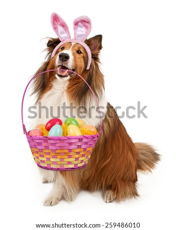 Shetland Sheepdog wearing Easter Bunny ears holding a basket of colorful eggs