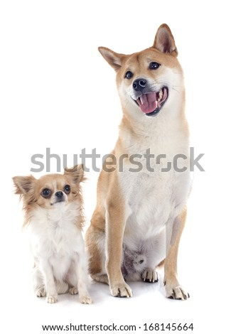 shiba inu and chihuahua in front of white background