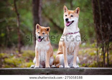 shiba-inu dog with her puppy - stock photo