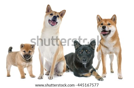 shiba inu family in front of white background