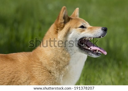 SHIBA INU; japanese national treasury
