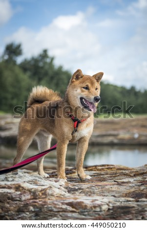 Shiba Inu on a rock in the outdoors