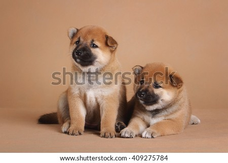 shiba inu puppies - stock photo